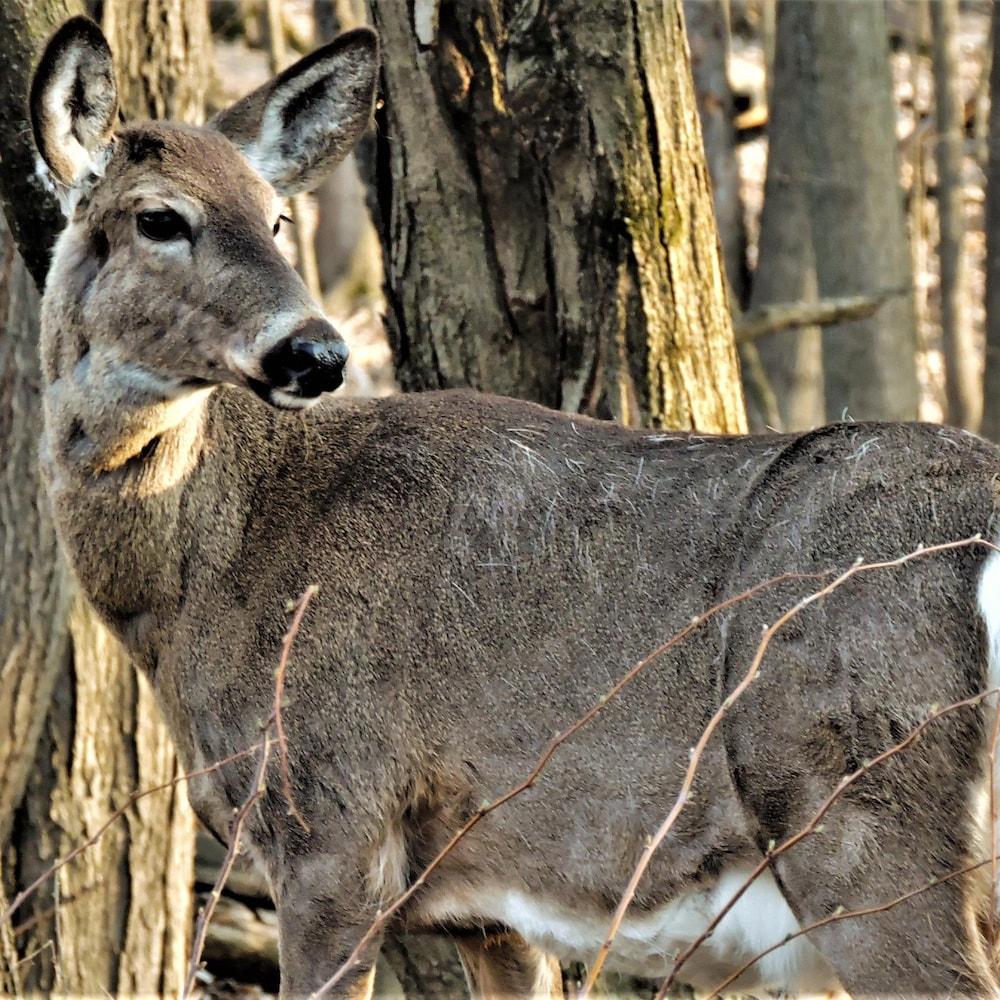 Un cerf dans une forêt au printemps.