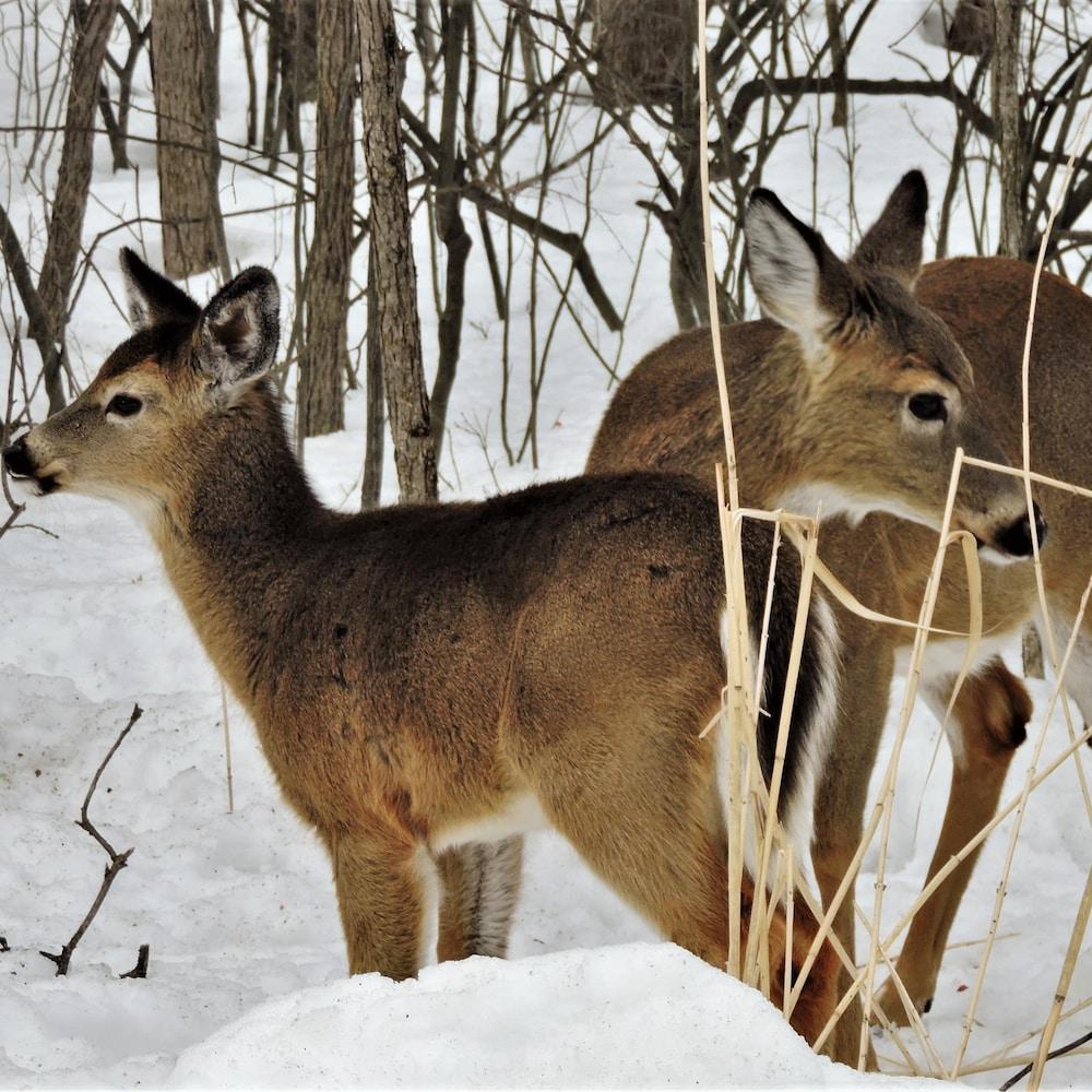 Le cerf de Virginie aurait fait son apparition dans le parc-nature vers la fin des années 90.