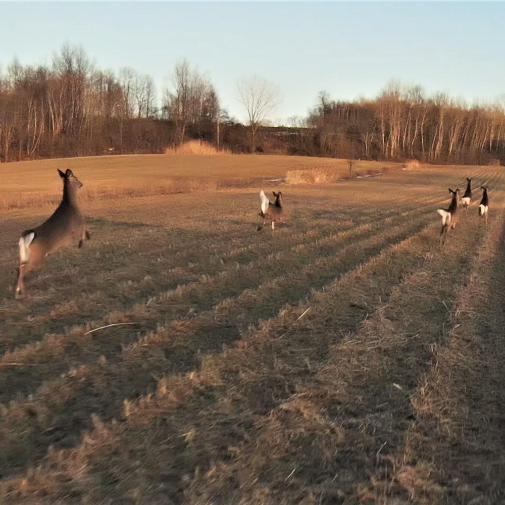 Cheptel de cerfs courant dans un champ.