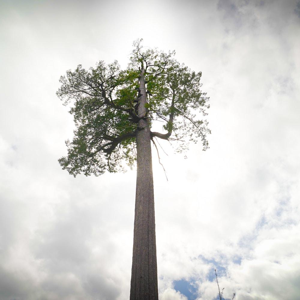 Un arbre géant.