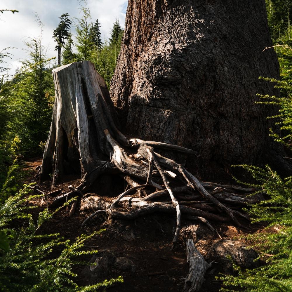 Tronc d'arbre coupé.