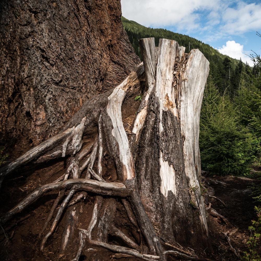 Souche d'un arbre ancien.