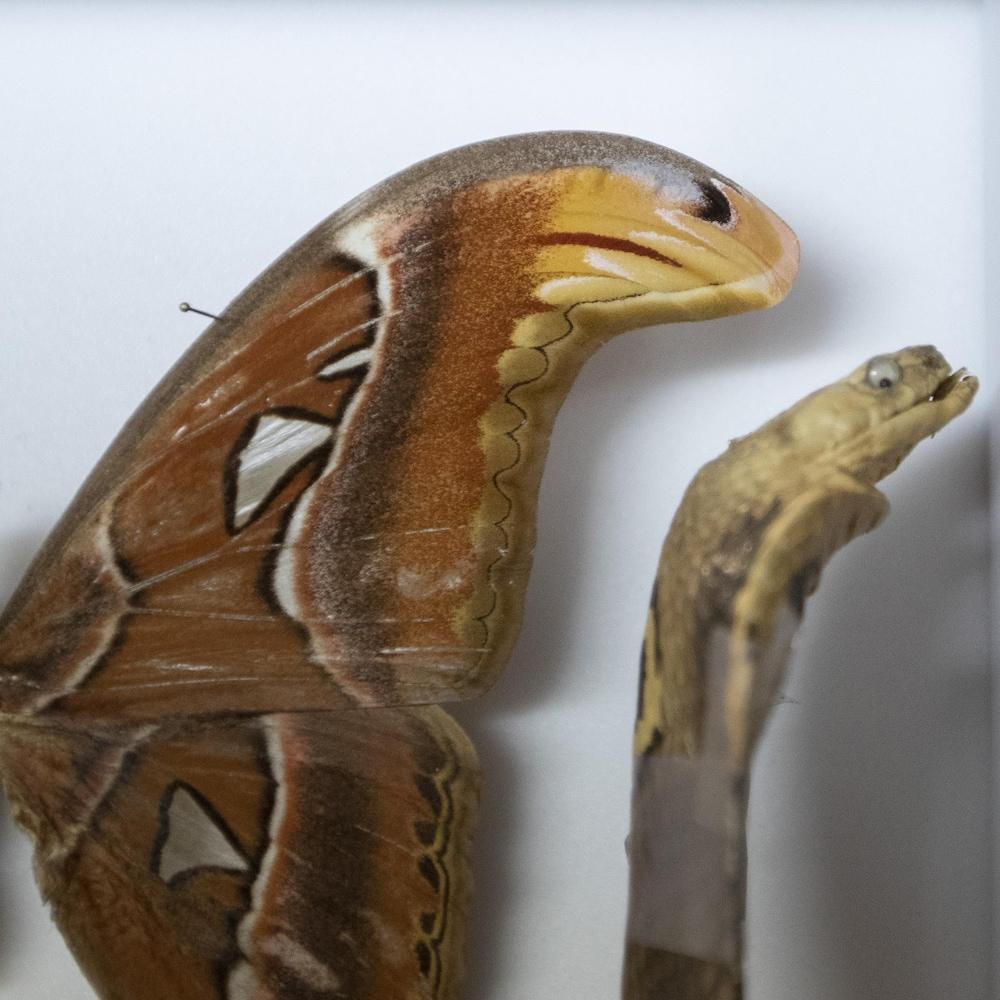 Un spécimen de papillon cobra placé à côté d'une reproduction de cobra en plastique. La similitude est frappante.
