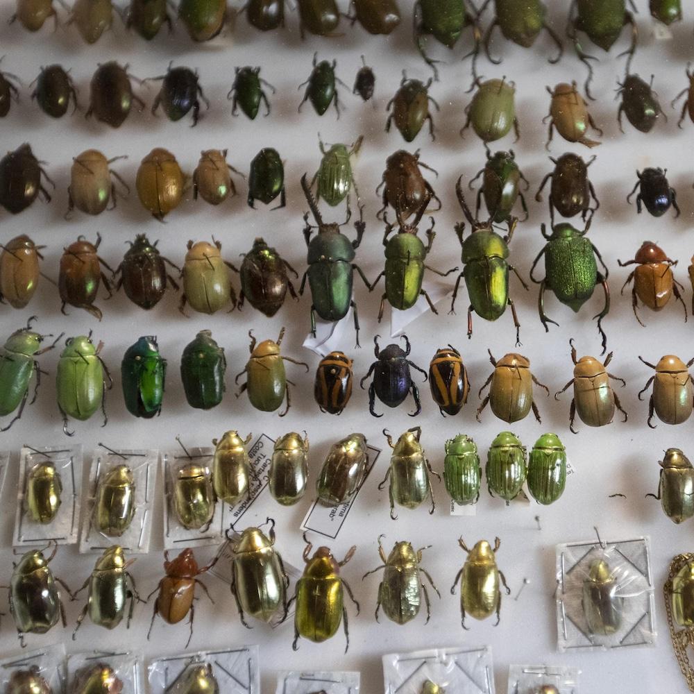Une centaine de coléoptères sous cadre aux couleurs bigarrées.