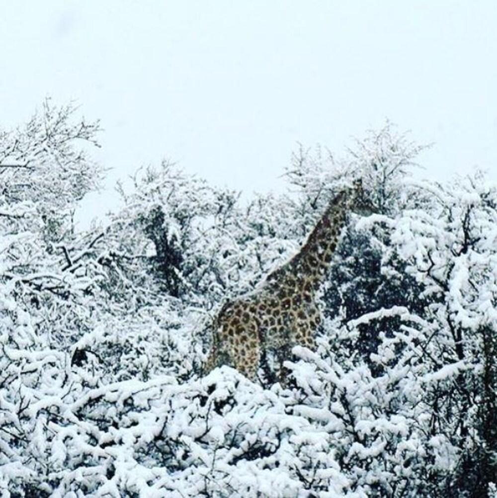 Une girafe se tient debout au milieu d'arbres enneigés.