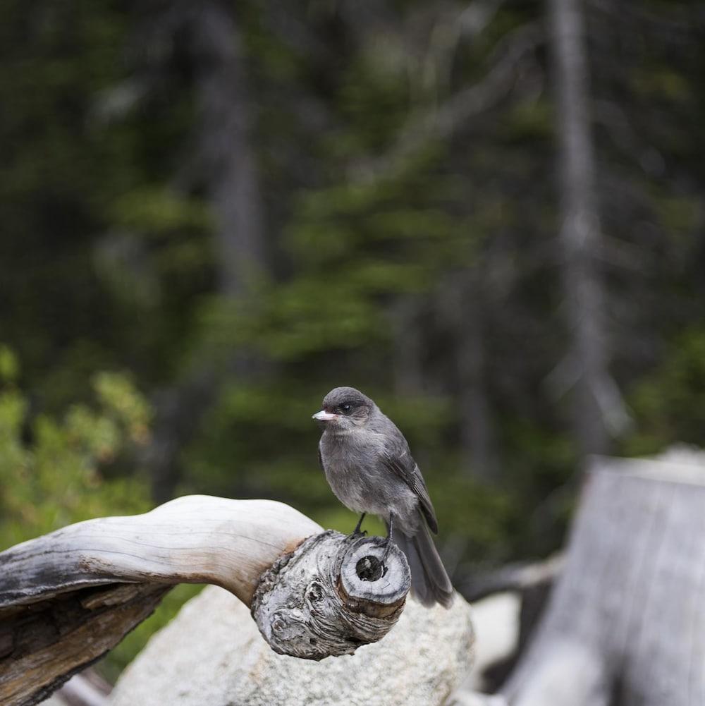 Un oiseau se tient sur une branche dans le parc britanno-colombien Joffre Lakes.