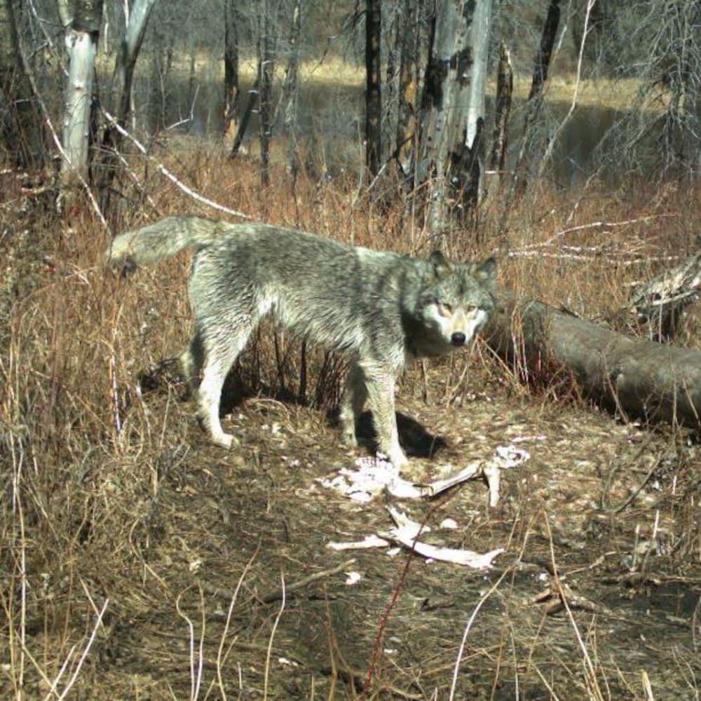 Un loup en forêt