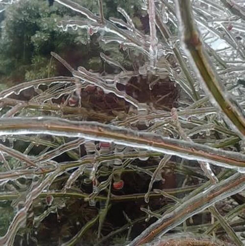 Un conifère recouvert de glace.