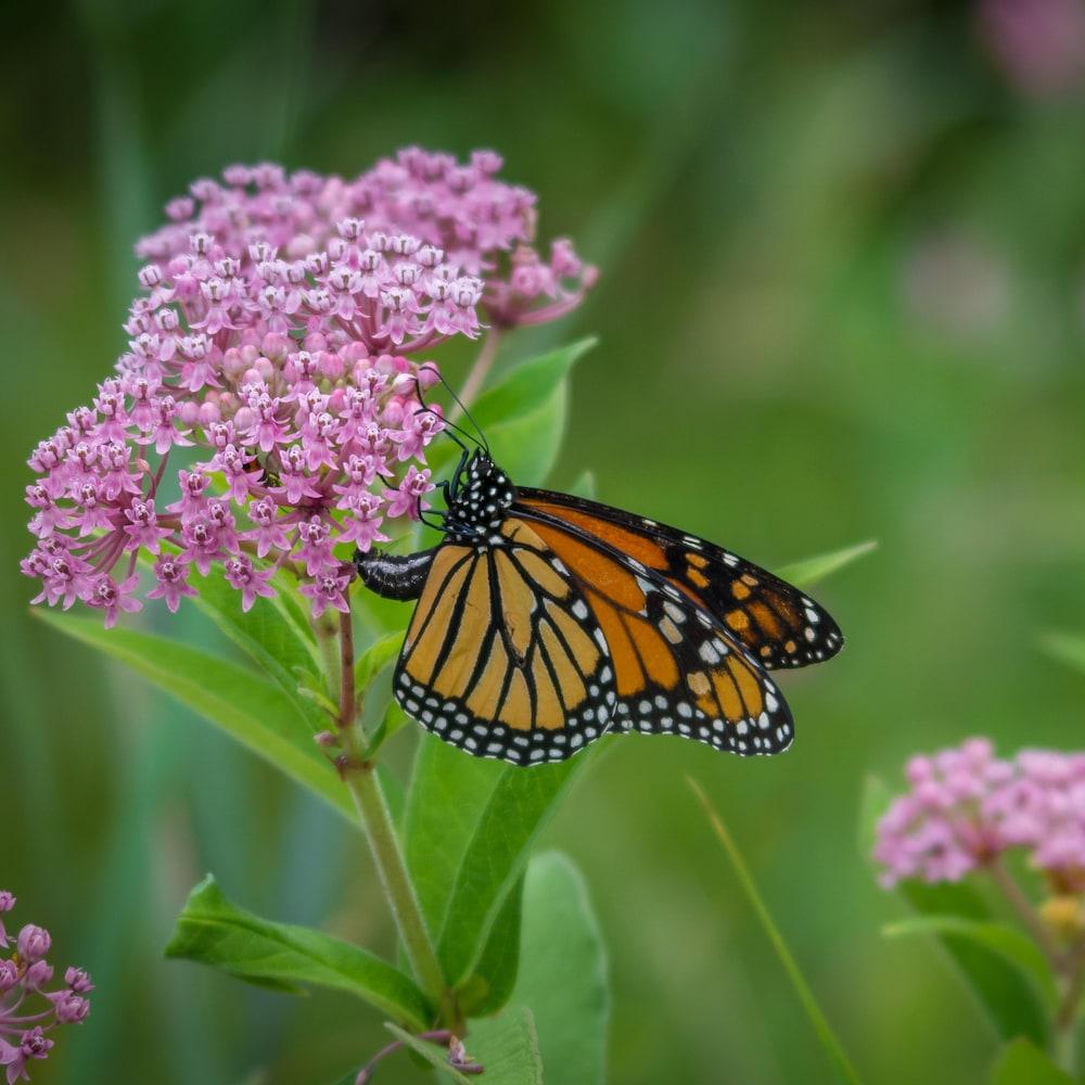 Un papillon monarque.
