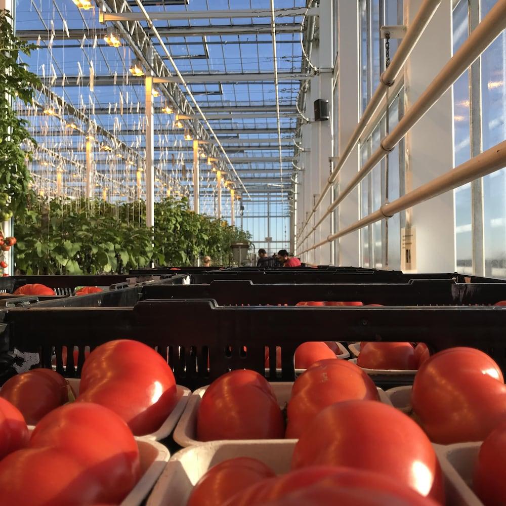 Des tomates dans une serre.