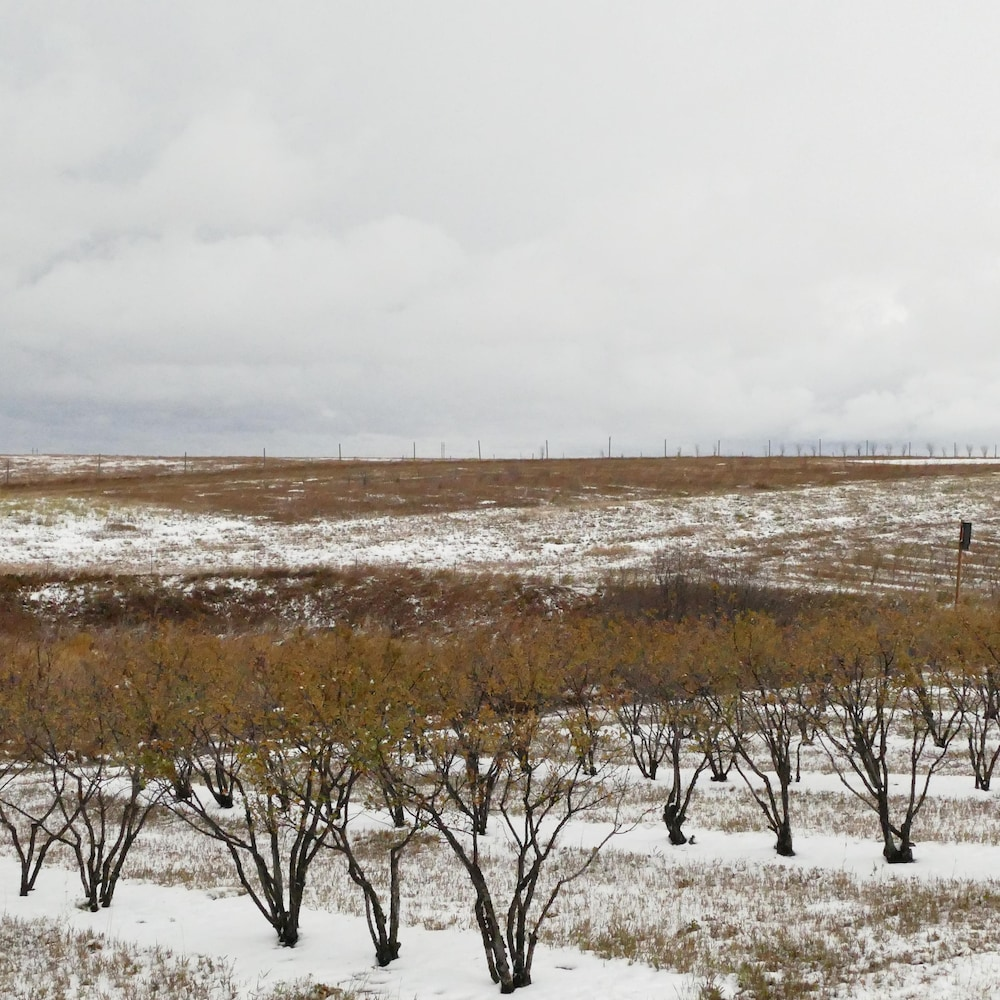 De petits arbres alignés sur une prairie valonnée. Le temps est nuageux. Il y a de la neige au sol.