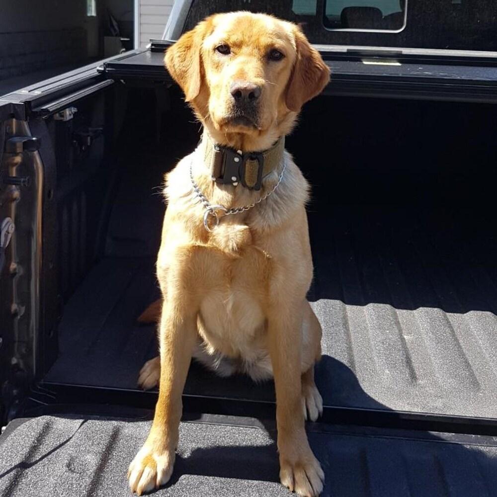 Un labrador blond à l'arrière d'une camionnette