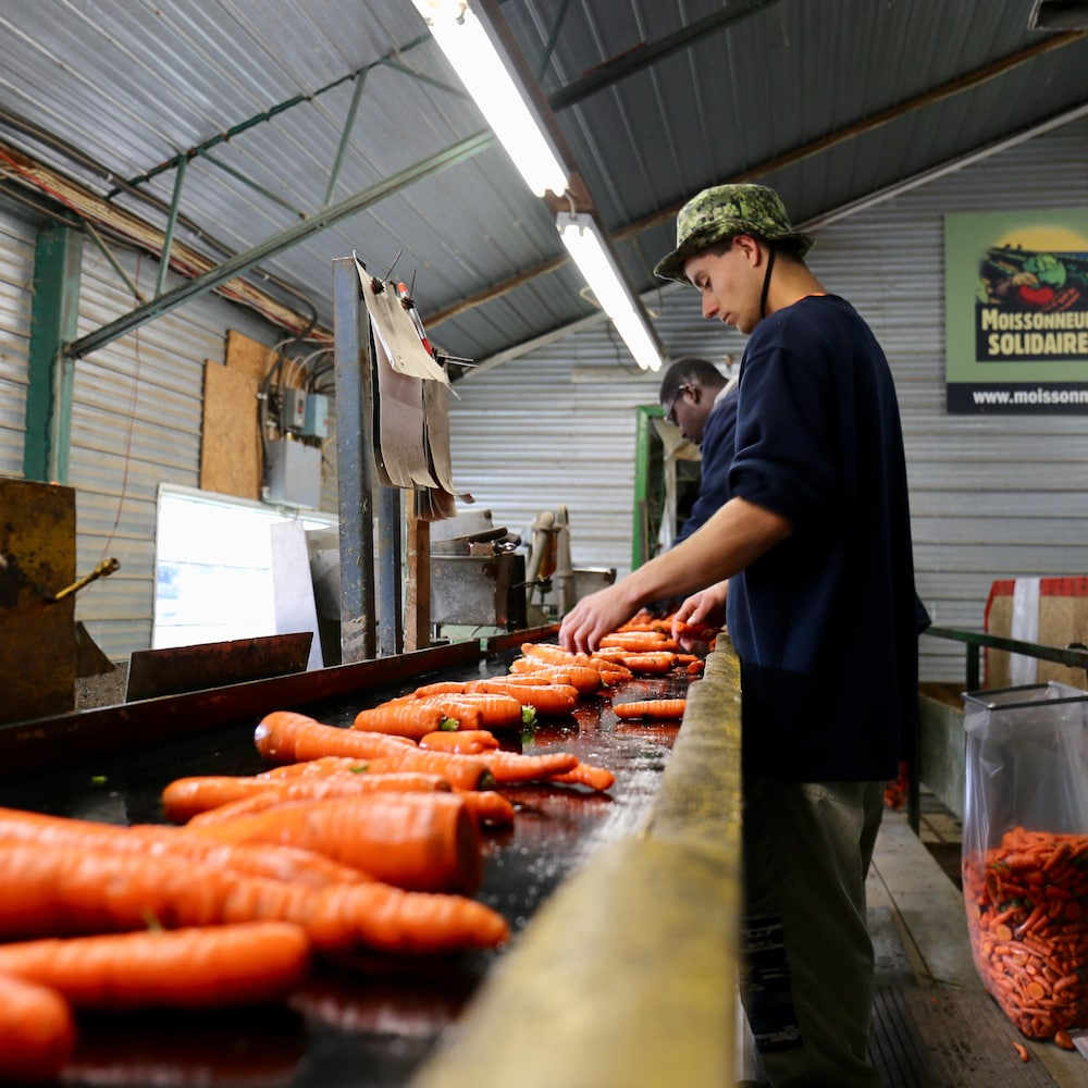 Un jeune homme procède au tri des carottes dans une grange