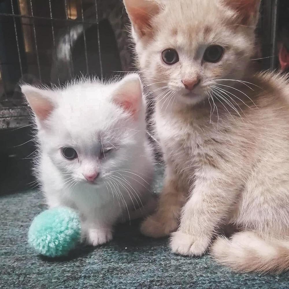 Deux petits chatons blancs, dont un avec un oeil manquant.