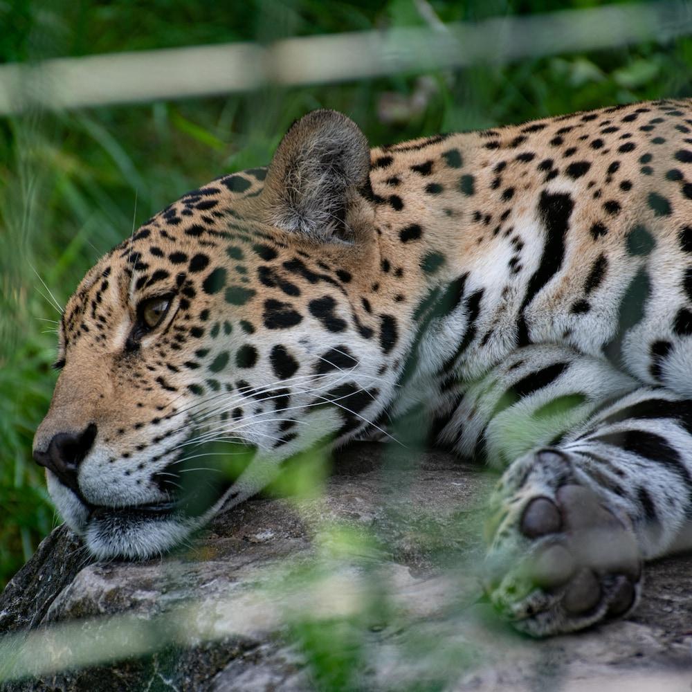 Un jaguar se reposant à l'extérieur.