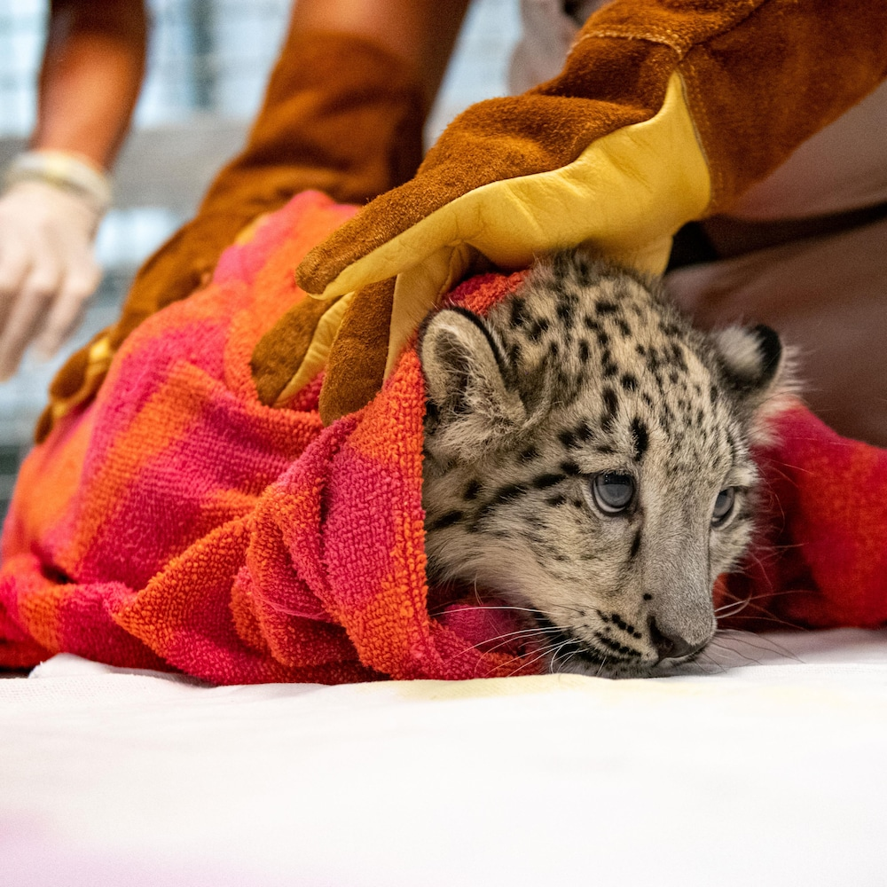 Une technicienne tient le bébé léopard des neiges avec des gants.