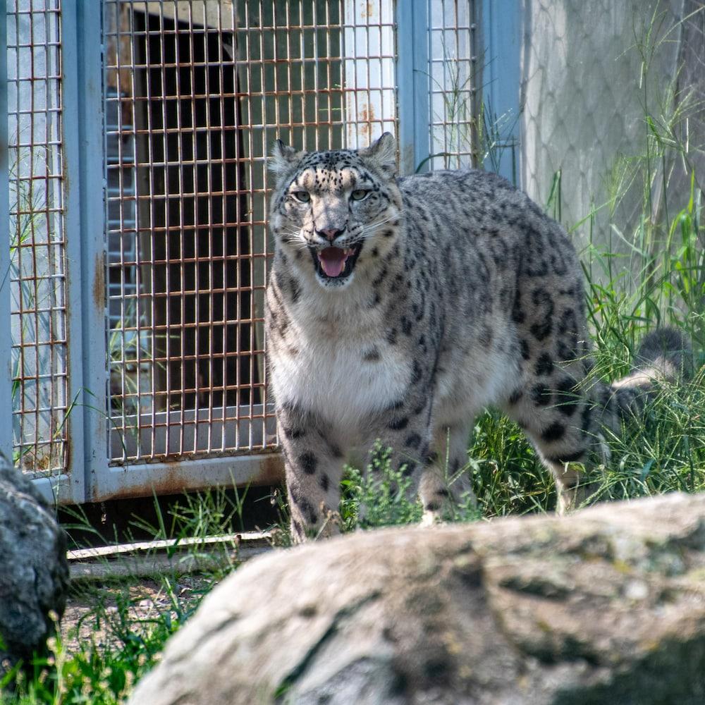 Kang, un léopard des neiges du Zoo de Granby, est dans son enclos.