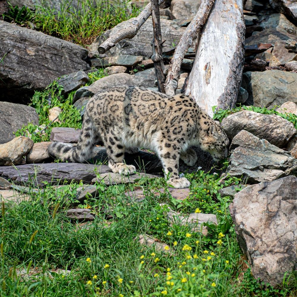 Un léopard des neiges se promène dans son enclos.