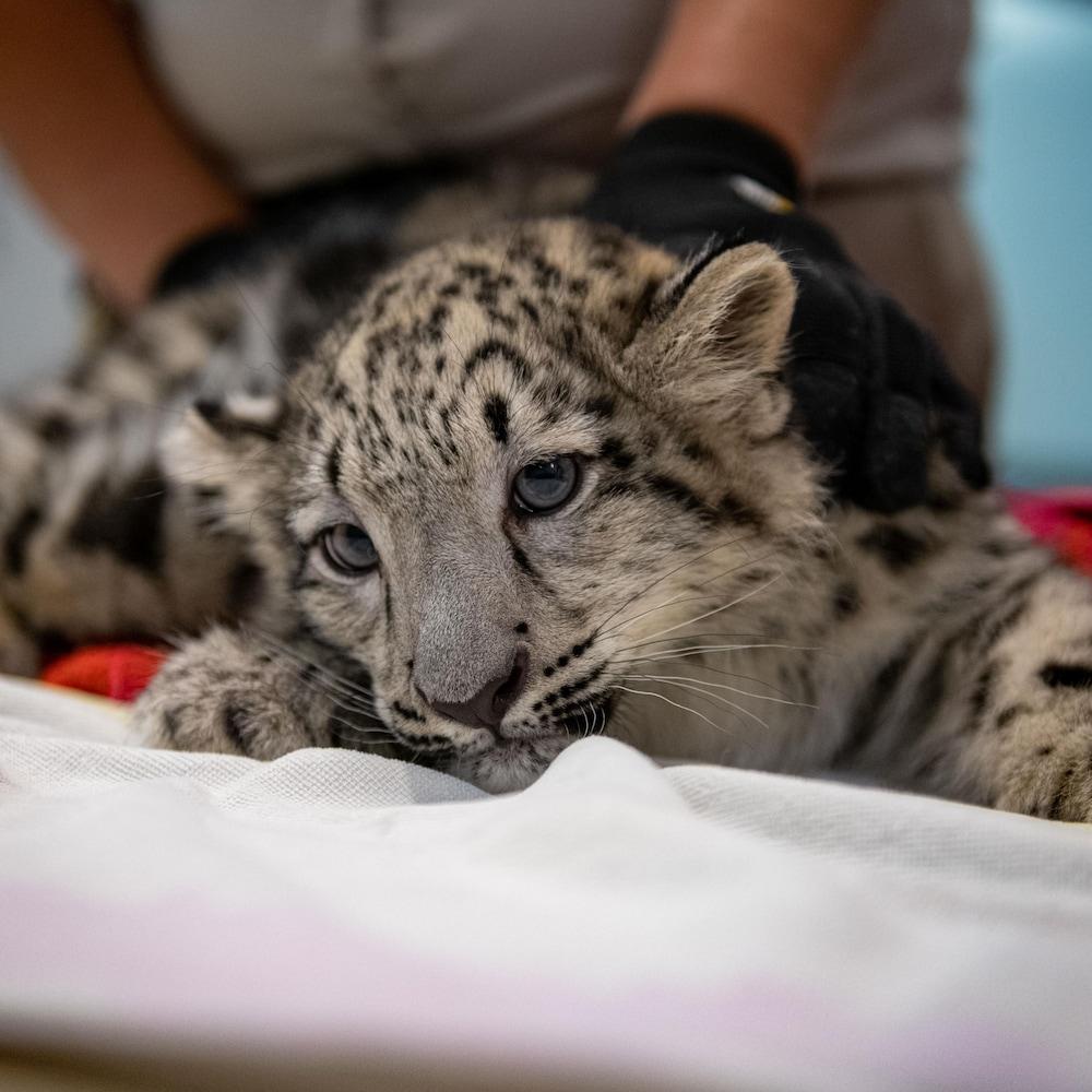 Un léopard des neiges tenu par une technicienne en soins animaliers.