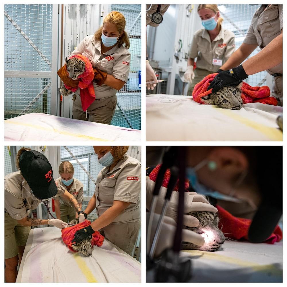 Un bébé léopard est examiné, ausculté et vacciné par une vétérinaire.