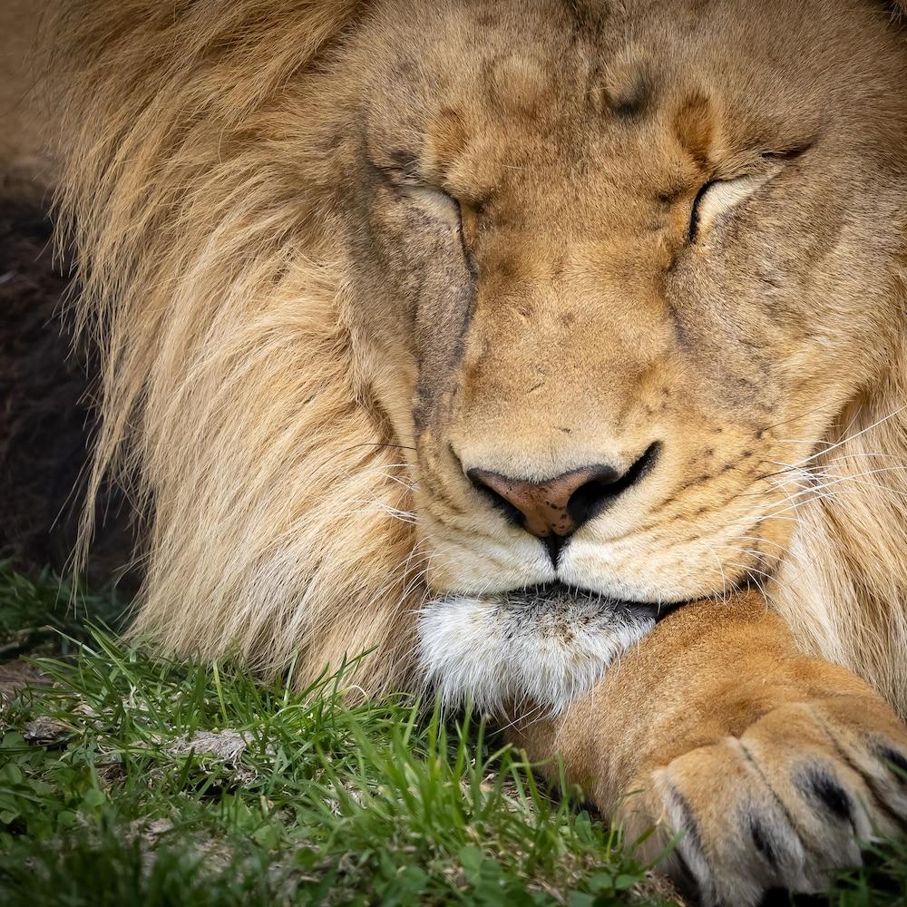 Un lion endormi.