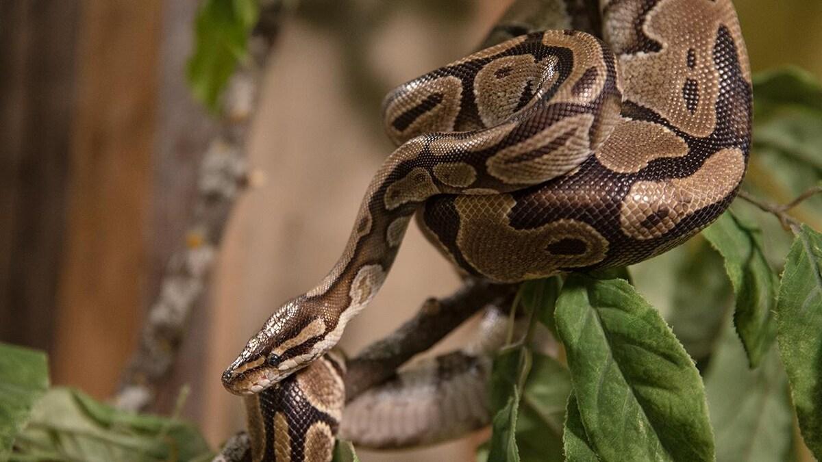 Un python royal enroulé dans les feuilles d'une plante.