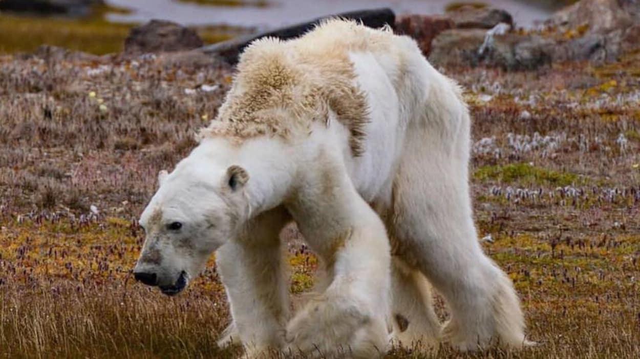 L'ours polaire en grand danger. Un journaliste a filmé le calvaire d'un ours!! C'est a pleurer