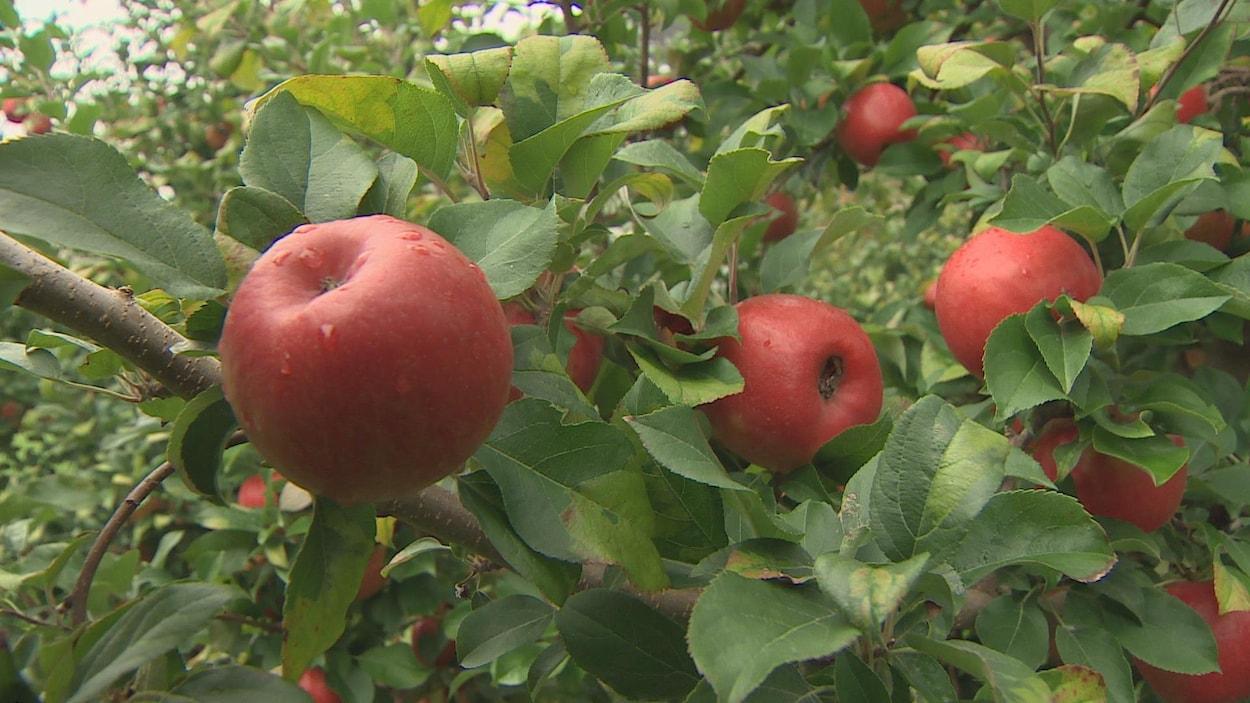 La Honeycrisp est au coeur d'un renouveau de l'industrie pomicole en Nouvelle-Écosse.