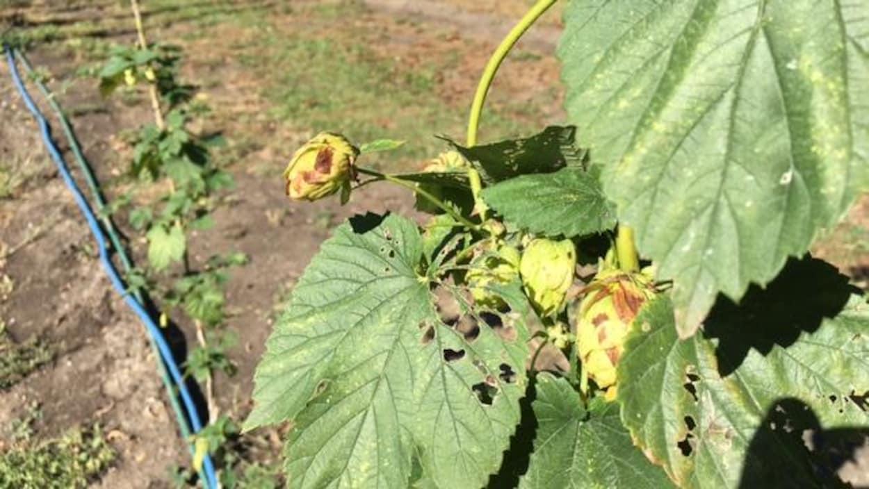 Gros plan sur des bourgeons de houblon verts, jaunes et un tantinet brun.