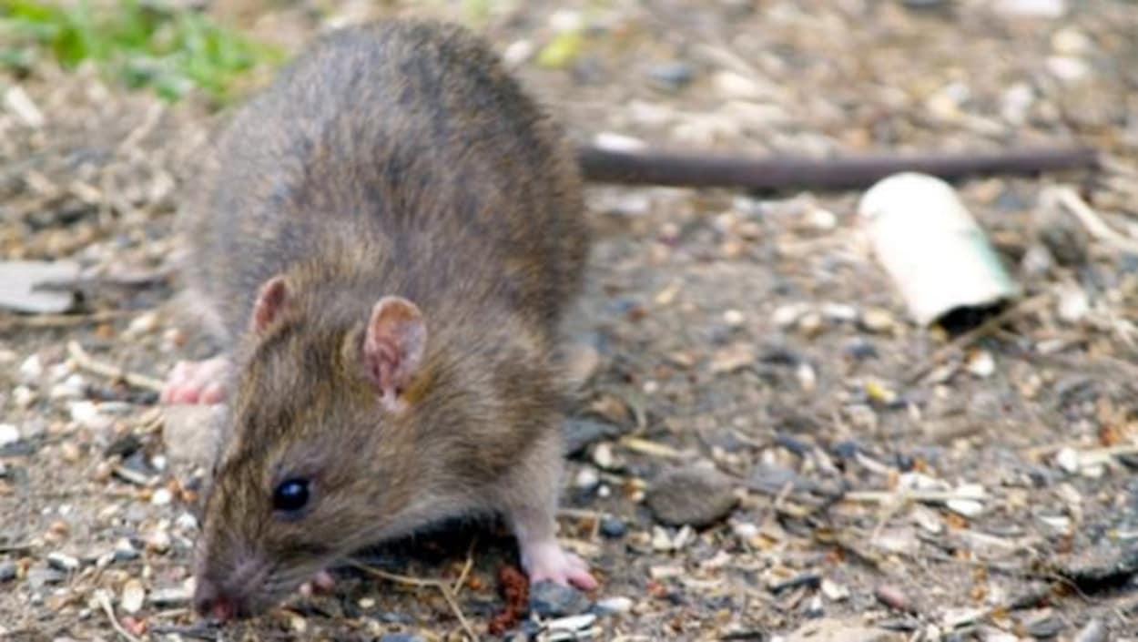 Orkin Canada vient de publier sa liste des villes les plus infestées de rats en Atlantique.