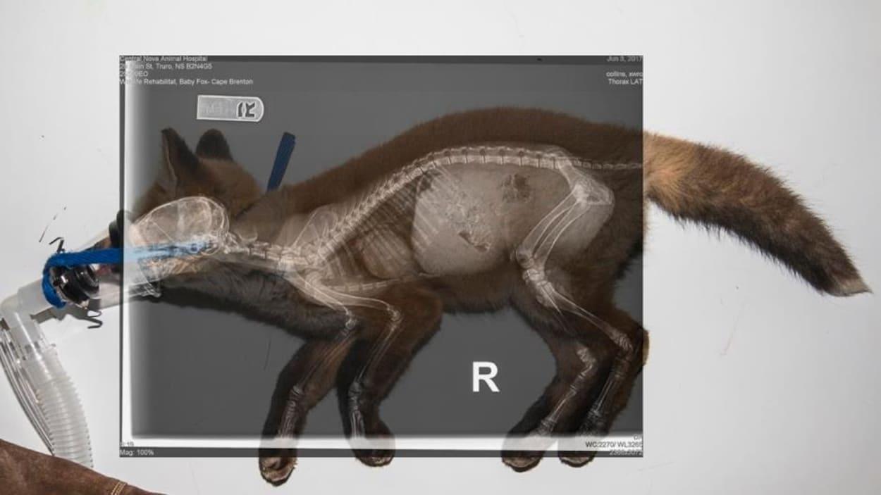 Un renard roux qui a été sauvé par le centre de réhabilitation pour animaux sauvages Cobequid à Brookfield en Nouvelle-Écosse.