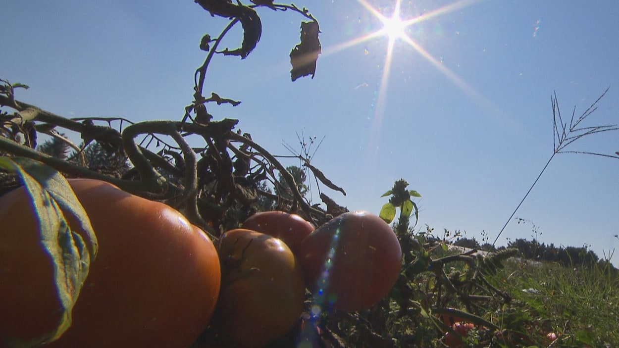 Tomates dans un champs