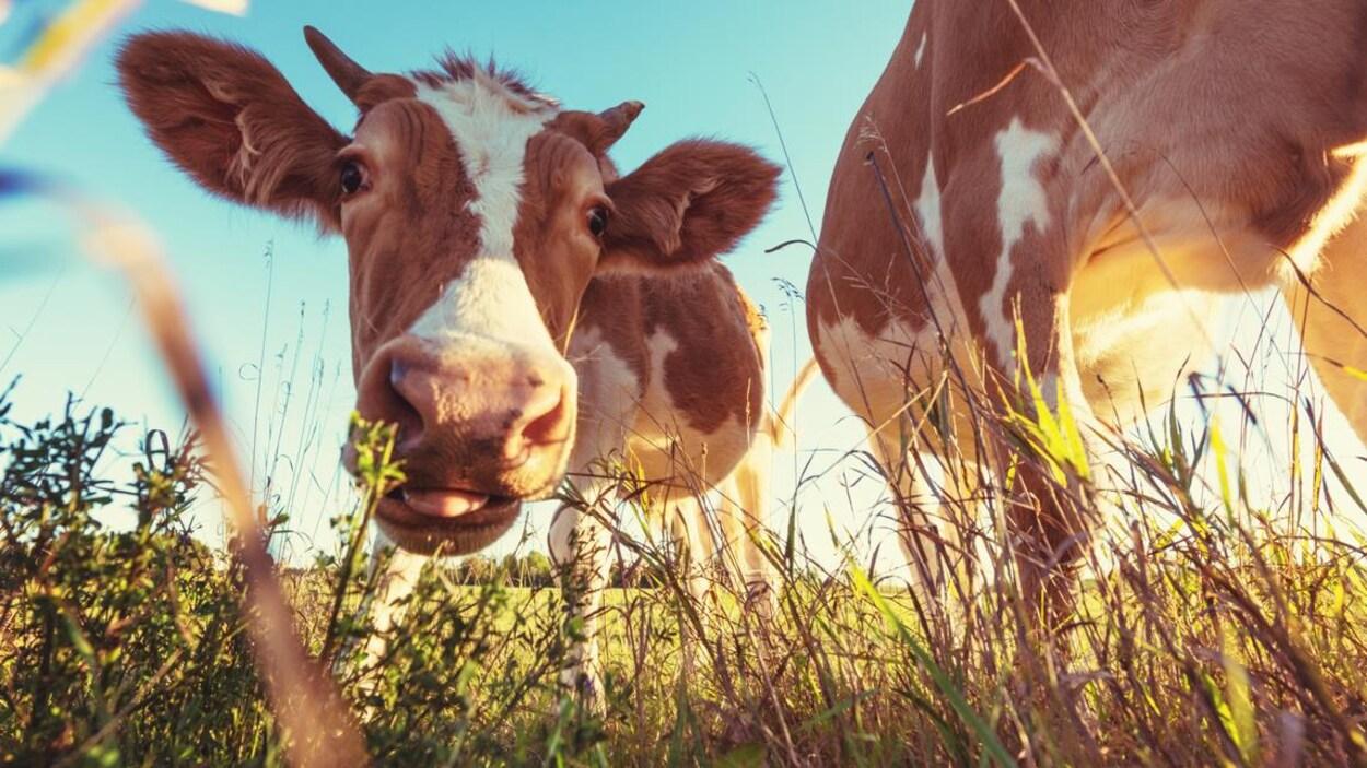 Une vache regarde la caméra avec curiosité.