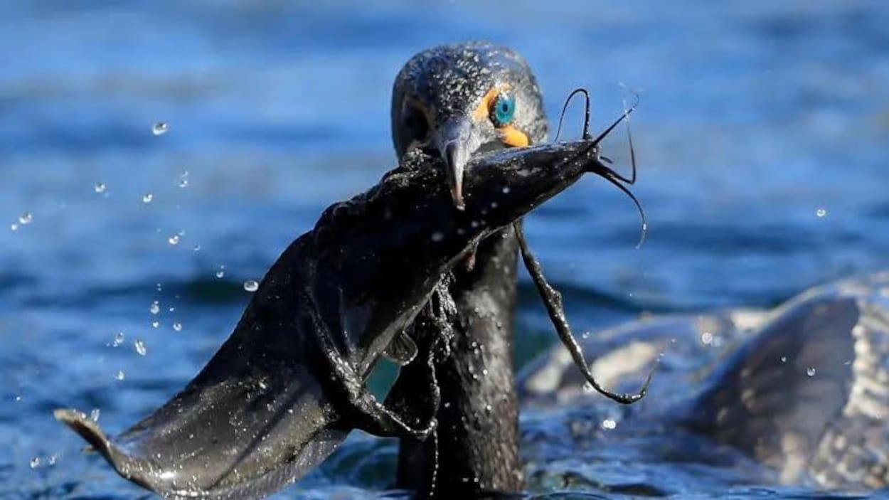 Un cormoran à aigrettes avec un poisson dans son bec.