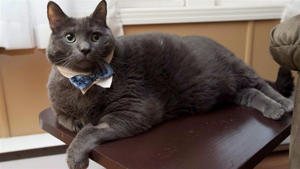 Dave Smith Auto >> Tiny le célèbre chat obèse n'est plus | Radio-Canada.ca