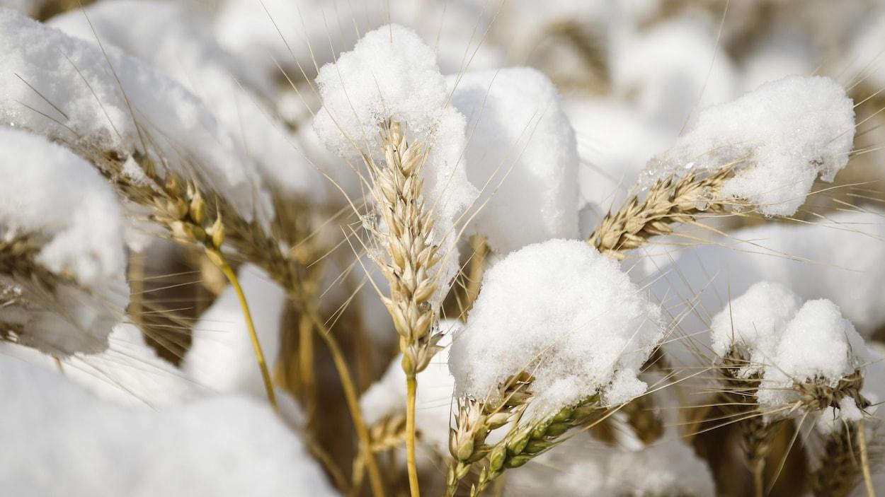 De la neige sur des plants de blé, le lundi 30 septembre 2019.