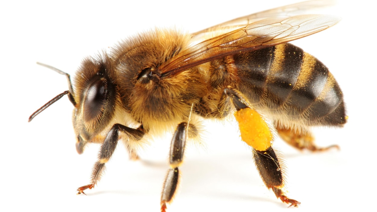 Il s'agit d'une abeille à miel seule.