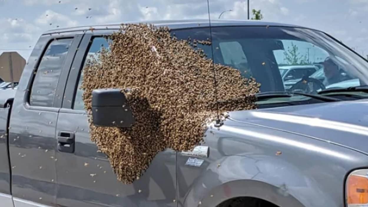 Des milliers d'abeilles sur le côté passager d'une camionette.