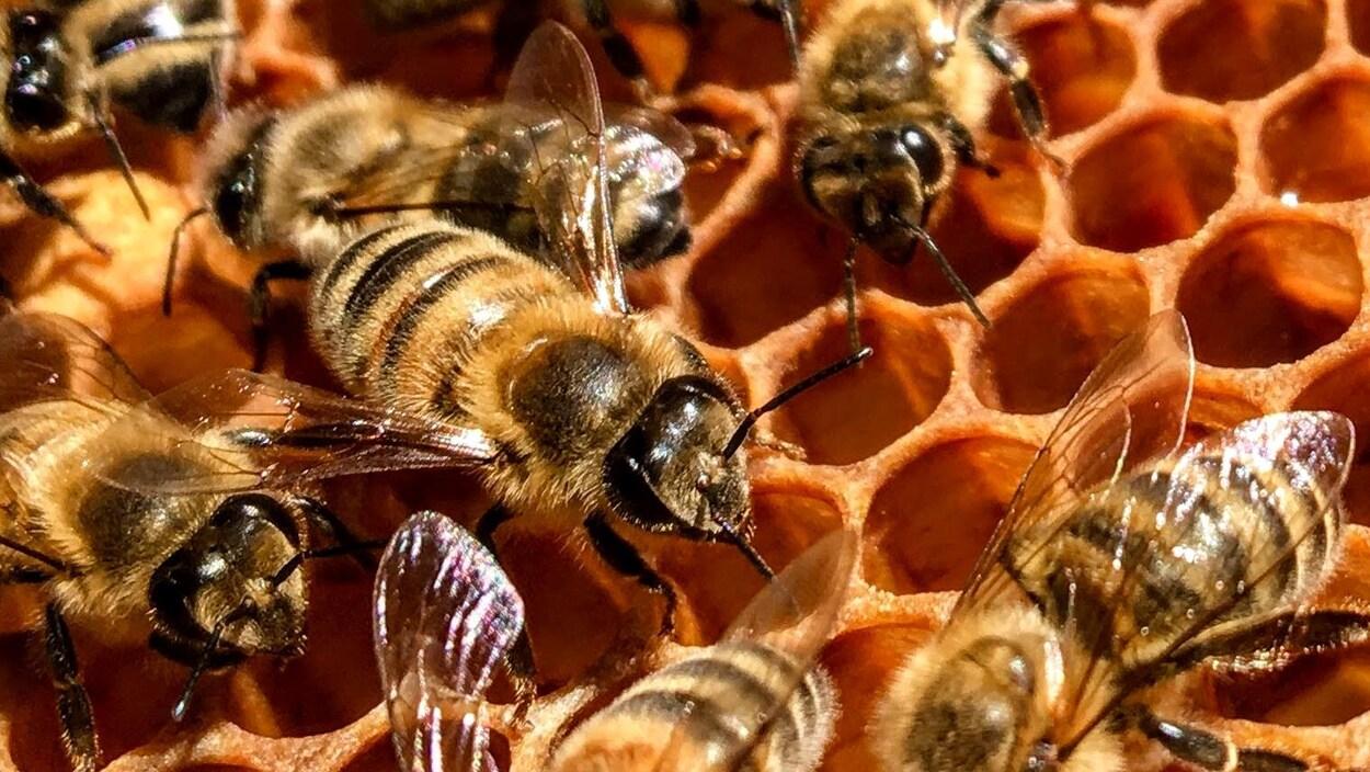 Les abeilles ouvrières dans leur ruche par temps ensoleillé.