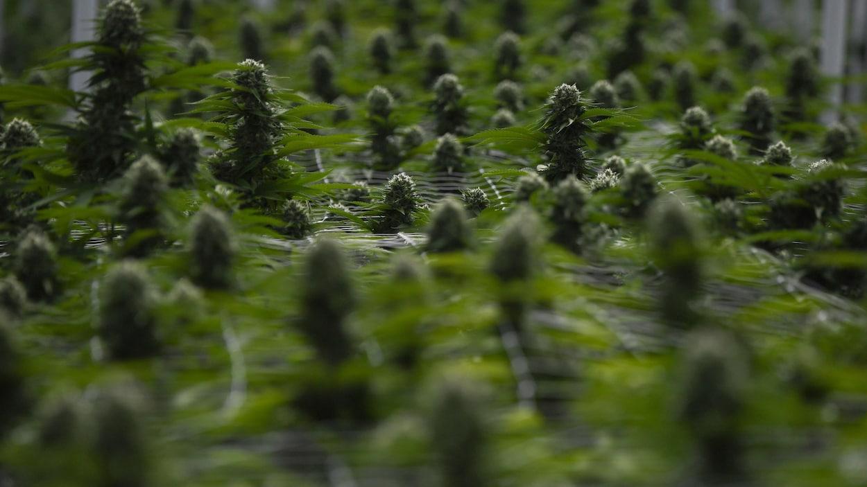 Des plants de cannabis arrivés à maturation dans un centre de production.