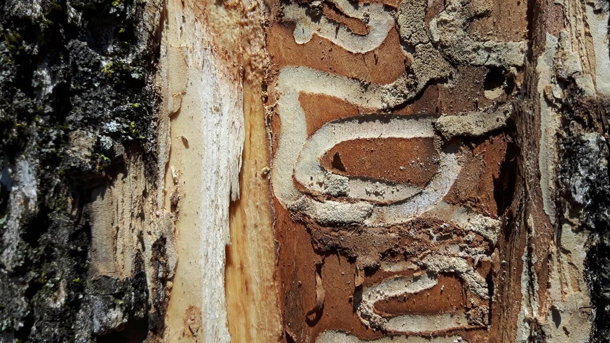Les traces caractéristiques laissées par l'agrile sur un frêne, à Québec.
