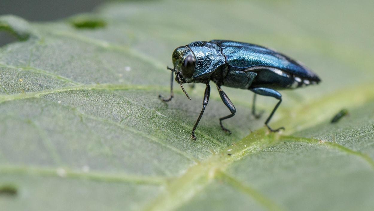 L'agrile du frêne, un petit insecte noir, sur une feuille.