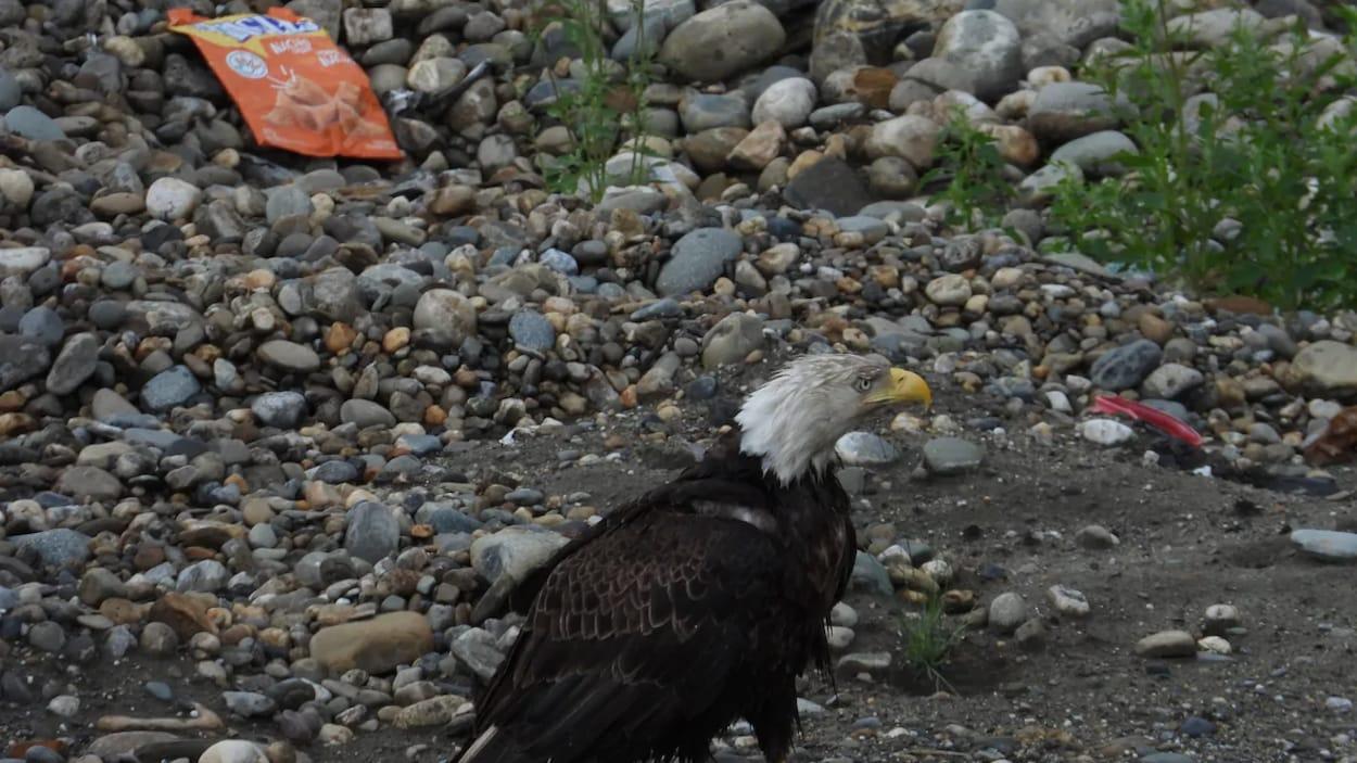 L'aigle se tient debout dehors sur un sol jonché de cailloux et de papiers sales.