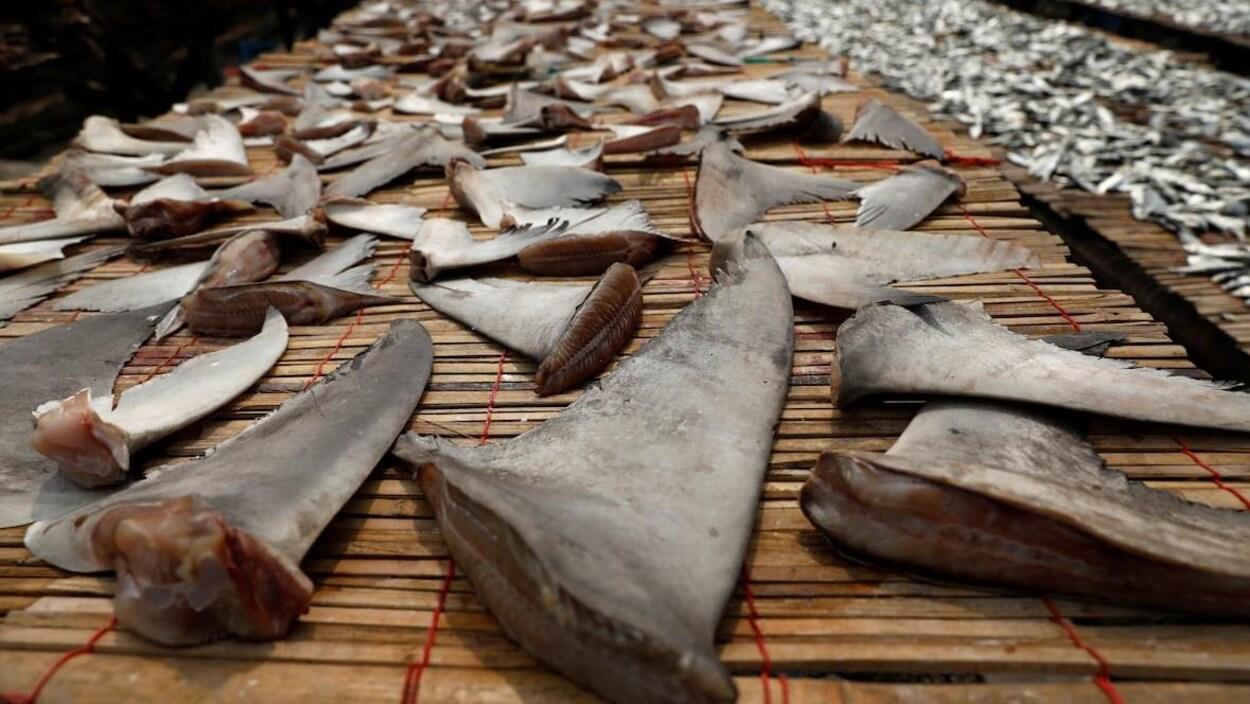 Des centaines d'ailerons de requins coupés, sur des tables.
