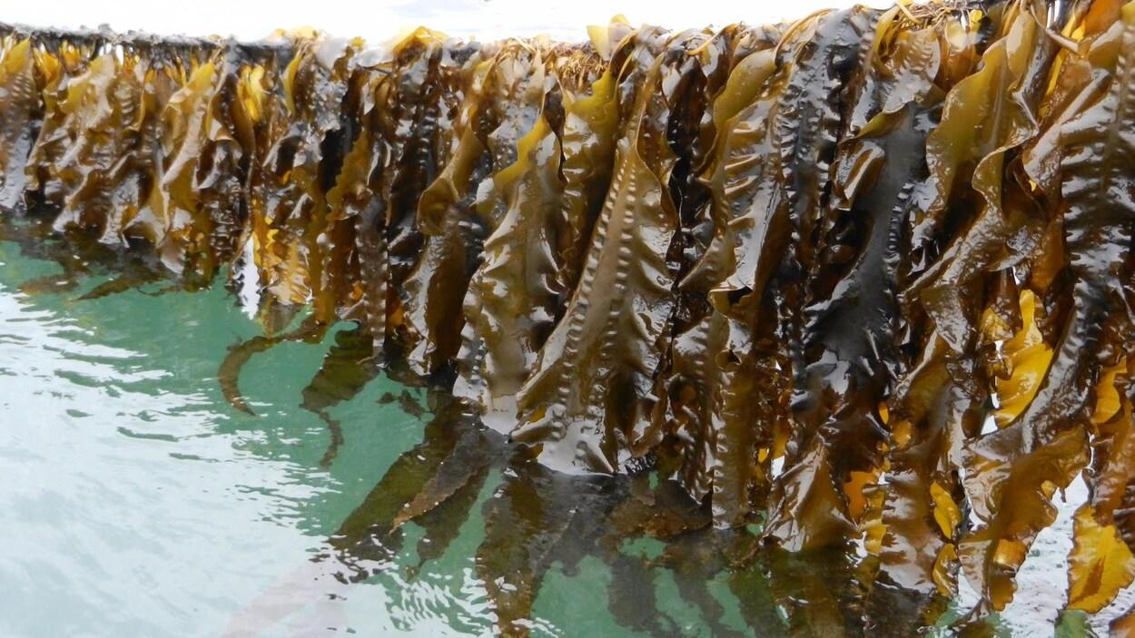 Culture de l'algue Saccharina latissima, Baie de Fundy au Nouveau-Brunswick.