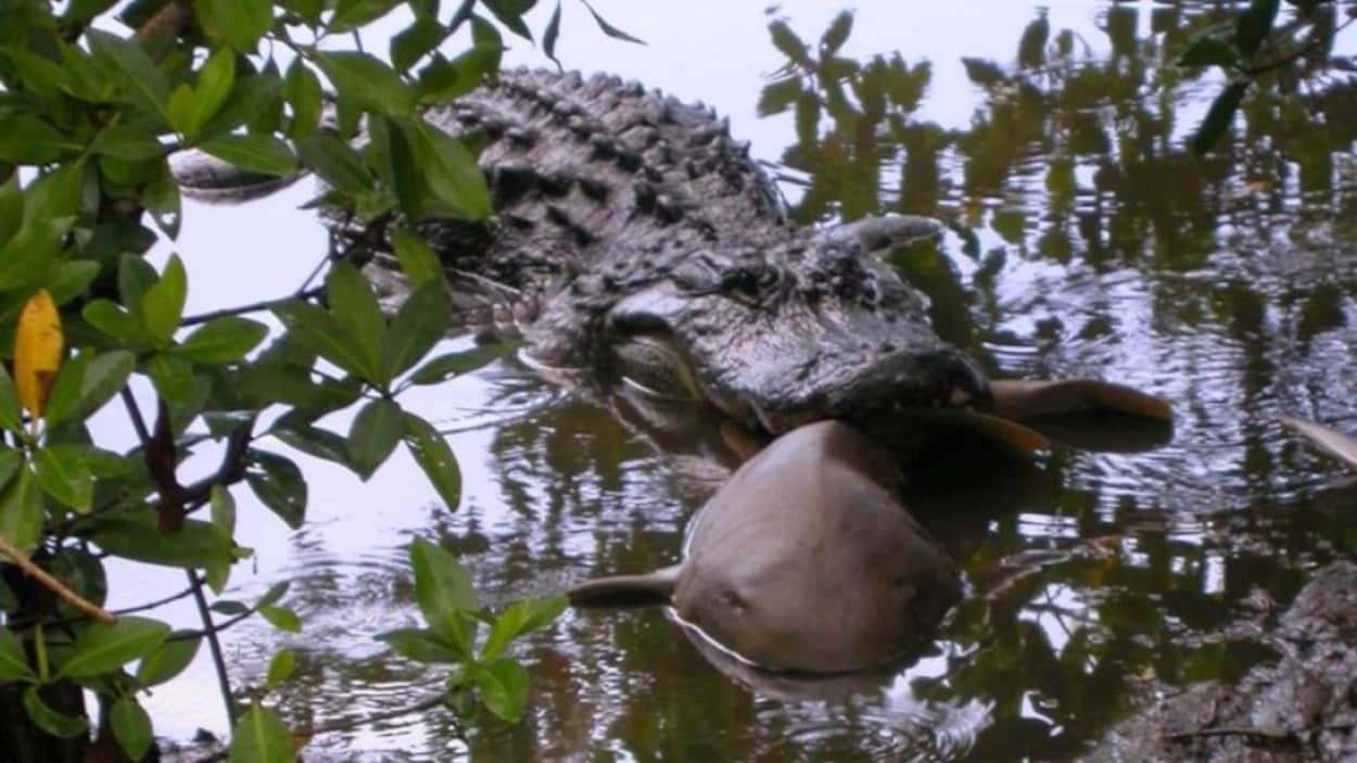 Un alligator attaque un requin.