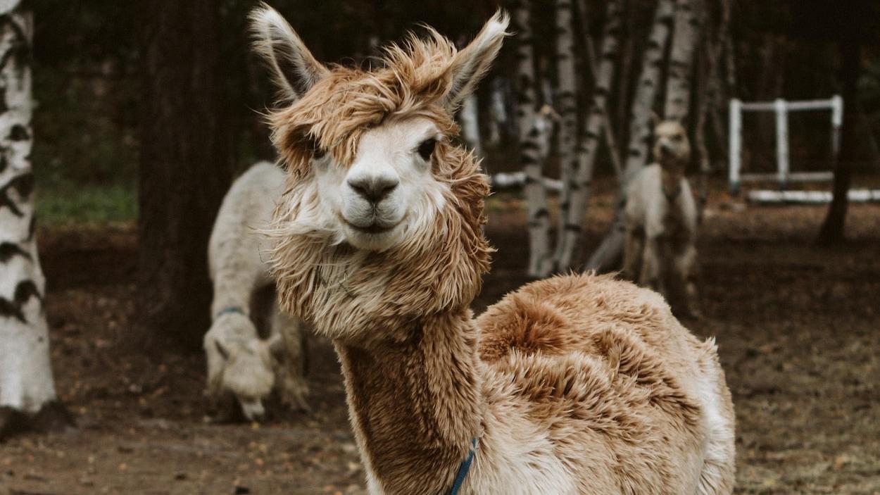 L'alpaga est un animal domestique d'Amérique du Sud.