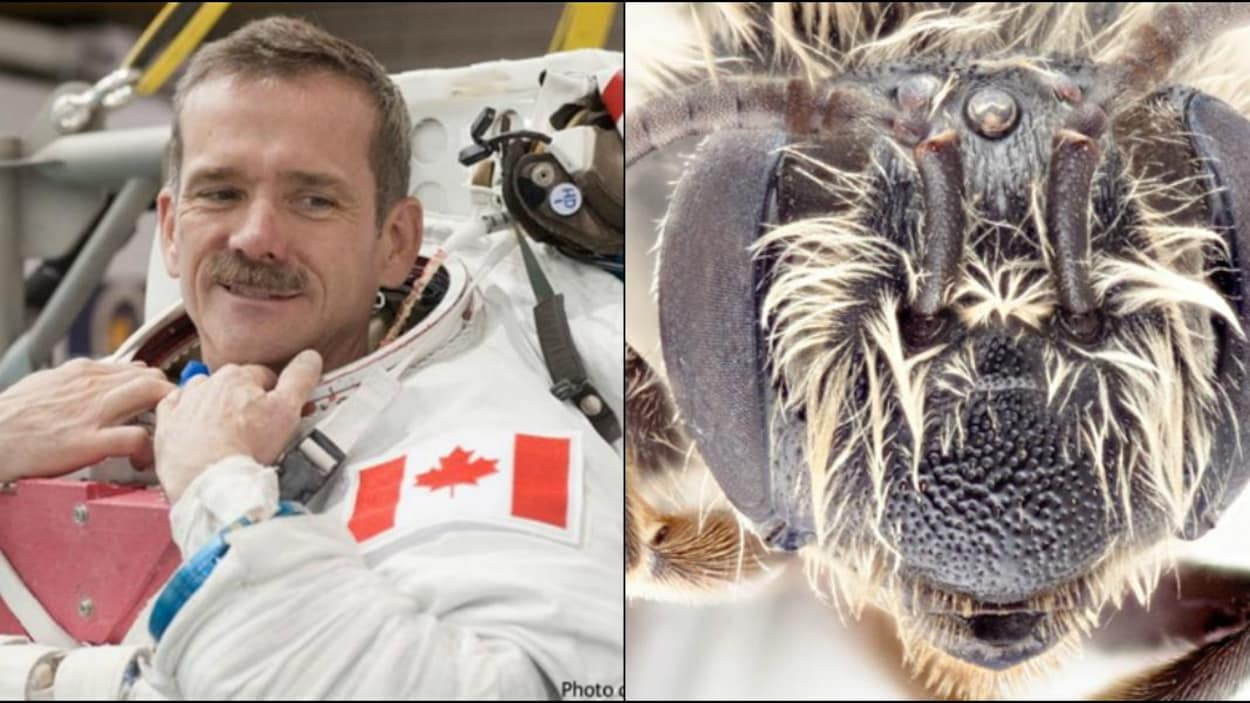 Une photo de Chris Hadfield en tenue d'astronaute à gauche, un gros plan de la tête d'une abeille à droite.