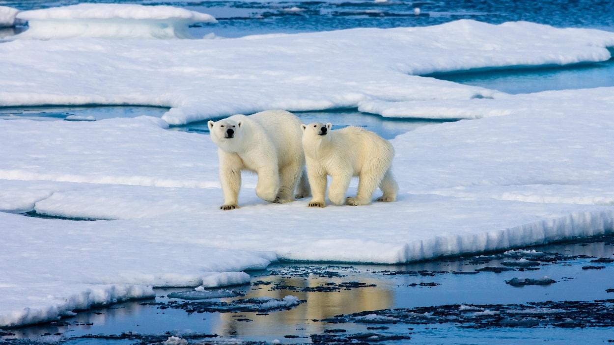Des ours polaires.