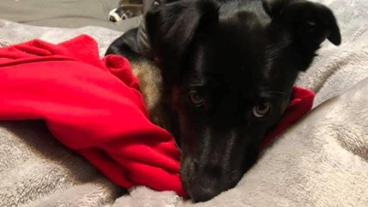 Le visage d'un chien noir.